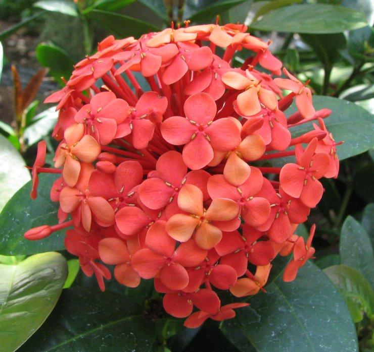 single ixora flower plant