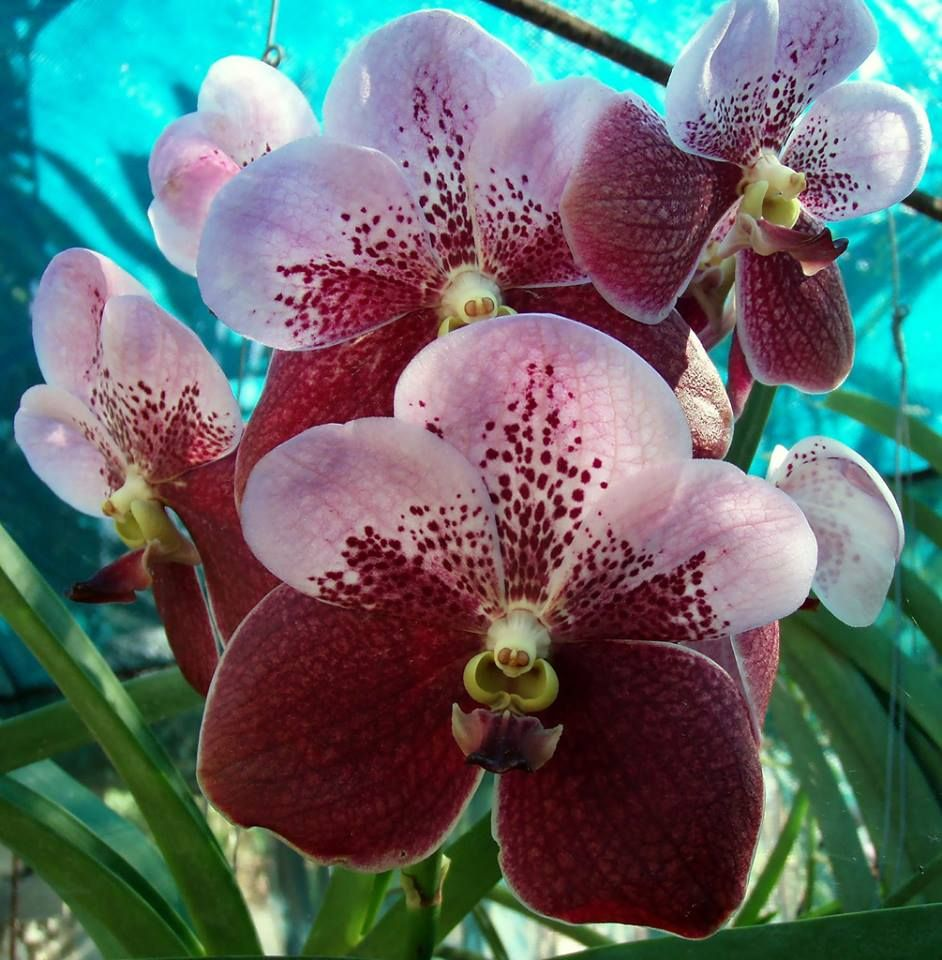 where to buy Queen of Philippine flower plant in Lagos Nigeria