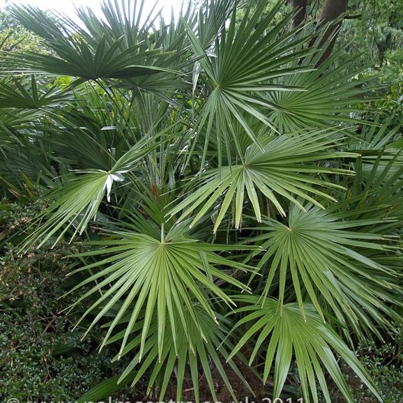 fan palm plant in Lagos Nigeria