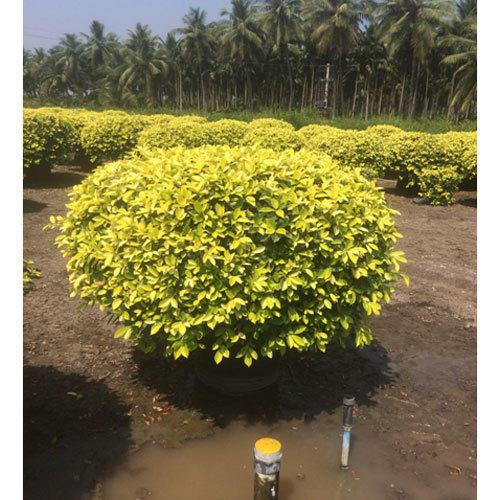 ficus plant nigeria