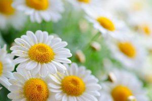Chamomile flower plant