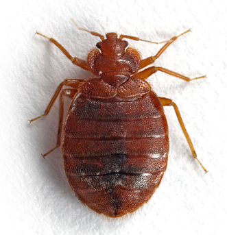 how to clear apartment of bed bugs