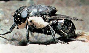 dangerous Human Botfly