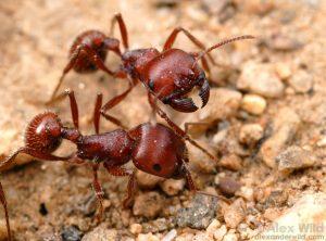 Maricopa Harvester Ant