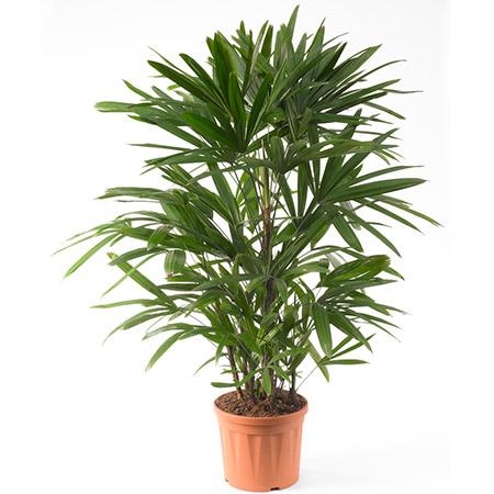 Lady-Palm-plant lagos