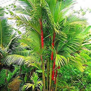 Lipstick Palm plant sale in lagos nigeria