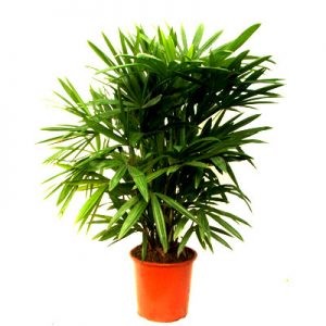 live lady palm flower supply