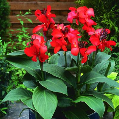 live canna lily plant nigeria