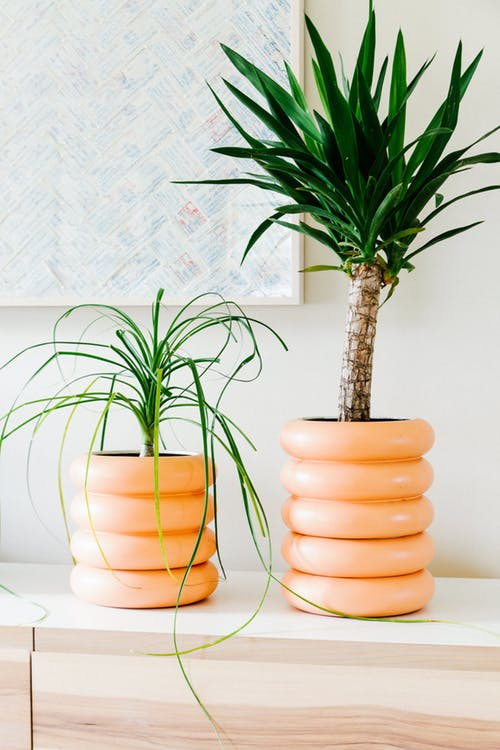 yucca houseplant suppliers in Lagos