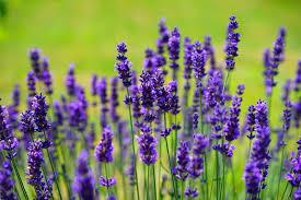 Lavendar flower plant Nigeria