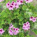 Scented geranium plant in Nigeria
